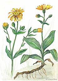 Arnika (Arnica montana)